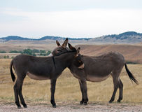 Wild burros royaltyfria foton
