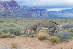 Wild burros. A young wild burro with his mother in the Nevada desert Royalty Free Stock Photography