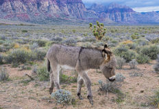 Wild burros Stock Photos