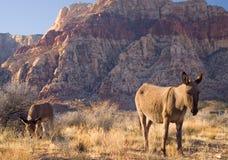 Wild Burros Stock Image