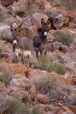 Wild Burros. Two wild burros standing among red rock boulders on hillside Royalty Free Stock Photos