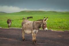 wild burros royaltyfri foto