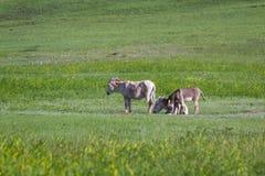 wild burros royaltyfria bilder