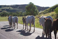 wild burros arkivbild