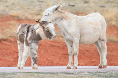 wild burros arkivfoton