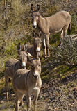 Wild Burros in Arizona Stock Photo