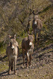 Wild Burros in Arizona Royalty Free Stock Image