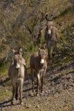 Wild Burros in Arizona Royalty Free Stock Image