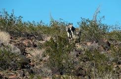Wild Burros, the Black Mountains in Arizona stock photo