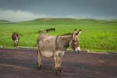 Wild burros Royalty Free Stock Photo