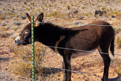 Wild Burros in Deser Stock Photography