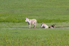 Wild burros Royalty Free Stock Image