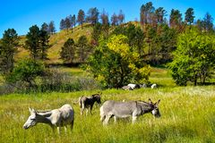 Wild Burros in a gield grazing stock photos