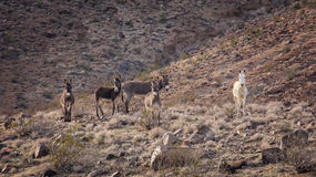 Wild  Burros on a Hillside in The Mojave Desert Royalty Free Stock Photos