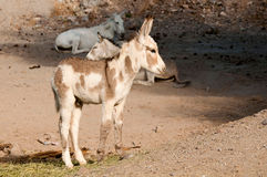 Wild Burros i Oatman, Arizona Arkivfoton