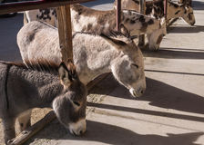 Wild Burros looking for a handout. Wild Burros in Oatman, Arizona royalty free stock images