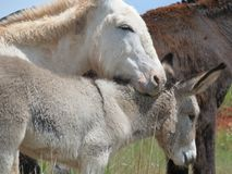 Wild burros -- Mother with baby Stock Image