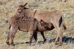 Wild burros nursing on mother Stock Images