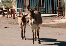 Wild Burros in Oatman, Arizona. Wild Burros walking down the street in Oatman, Arizona Royalty Free Stock Photo