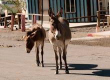 Wild Burros in Oatman, Arizona. Wild Burros walking down the street in Oatman, Arizona Stock Photo