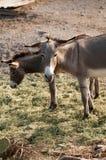 Wild Burros in Oatman, Arizona. Standing in the brush Royalty Free Stock Photo