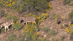 Wild Burros in Spring stock video footage