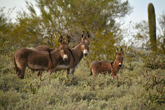 Wild Burros Royalty Free Stock Photos