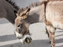 Wild Burros in town Stock Photography