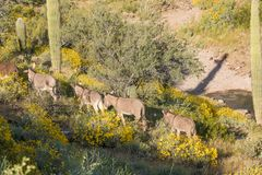 Wild Burros Wlaking in the Desert Royalty Free Stock Photos