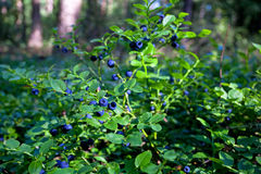 Wild bush of blueberry with fruits in sunny forest. During summer Royalty Free Stock Photos