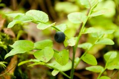 Wild bush of blueberry with fruits Royalty Free Stock Photos