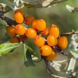 Wild Bush Buckthorn Rusinova  lat. Hippophae rhamnoides. Ripe berries on the branches Royalty Free Stock Photography