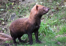 Wild Bush Dog standing in woods Royalty Free Stock Photography