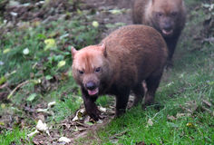 Wild Bush Dogs walking towards camera Stock Photo
