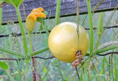 Wild Bushel Basket Gourd. Close view of a wild Bushel Basket gourd growing and climbing on the side of an old, rural fence royalty free stock photos