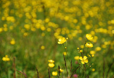 Wild Buttercup Field Royalty Free Stock Photo