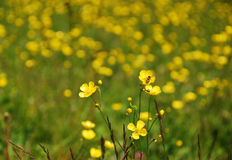 Wild Buttercup Field Stock Photography