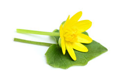 Wild buttercup.Ranunculus ficaria. Royalty Free Stock Photo