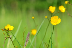Wild buttercups Royalty Free Stock Photos