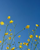 Wild buttercups, blue sky Royalty Free Stock Images
