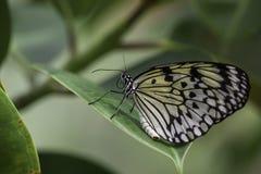 Wild Butterflies in Saint Martin Stock Photography