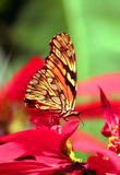 Wild Butterfly. Uruapan, Michoacan, Mexico Stock Images