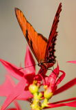 Wild Butterfly. Wild Monarch Butterfly, Uruapan, Michoacan, Mexico Stock Image