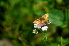 Wild butterfly Stock Photography