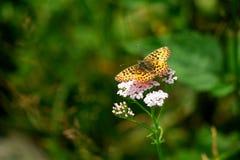Wild butterfly. On Common Yarrow (Achillea millefolium Stock Photography
