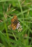Wild butterfly. On Common Yarrow (Achillea millefolium Royalty Free Stock Image