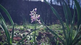 Wild Butterfly Orchid in spring stock video footage