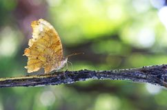 Wild butterfly in tropical rainforest. Wild butterfly is resting on the weed branch in the tropical rainforest Stock Images