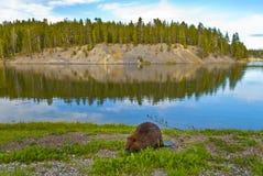 wild bäver Royaltyfri Foto