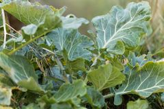 Wild cabbage Brassica oleracea. Leaves of a wild cabbage Brassica oleracea Stock Photos